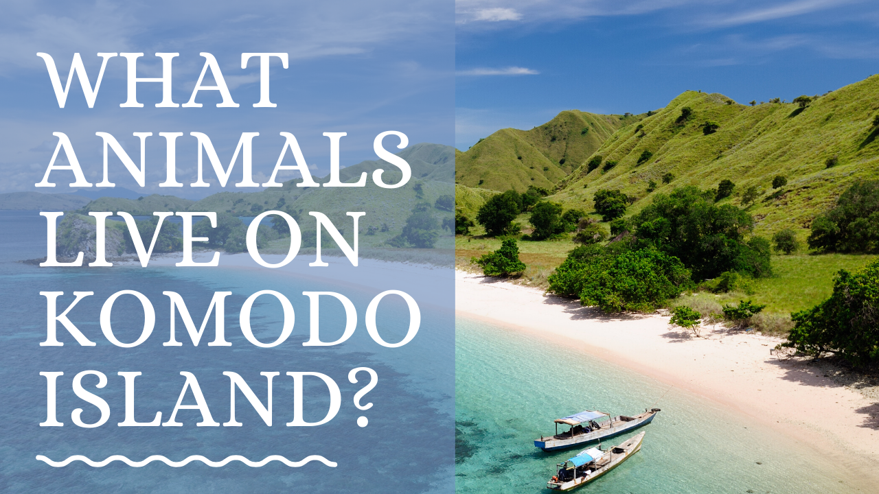 animals on komodo island