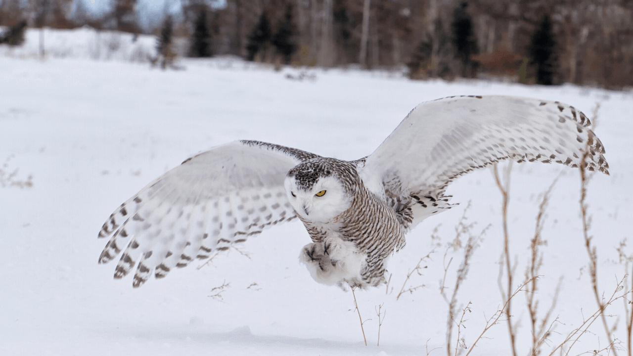 arctic owls