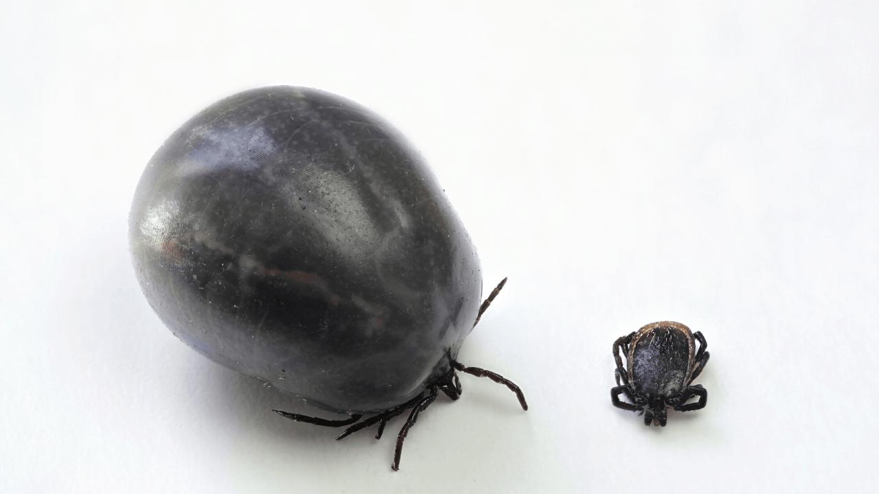 castor bean ticks