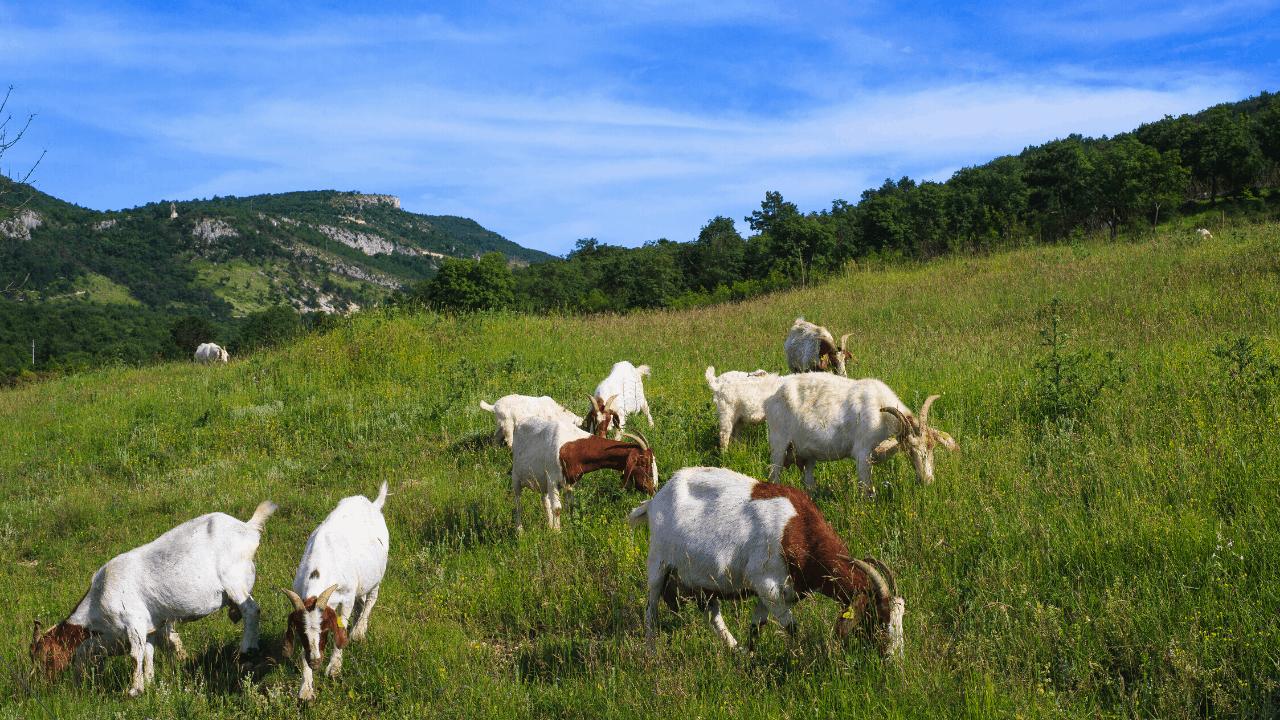 goats easter island