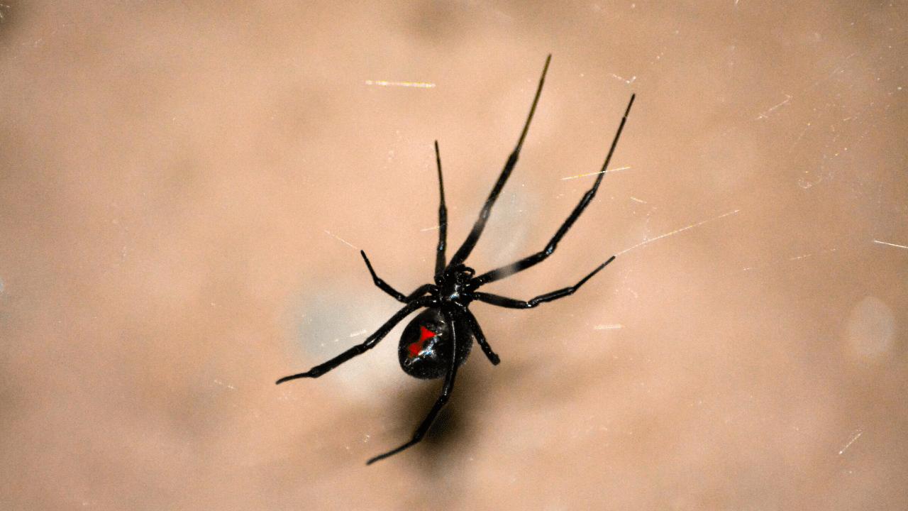 Mediterranean black widow spiders